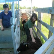 Staff member Ellen filling the shearing pen.