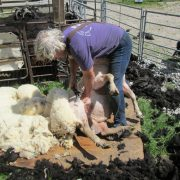 Shearing a rather large Charollais