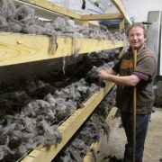 The drying process of the washed Hebridean wool