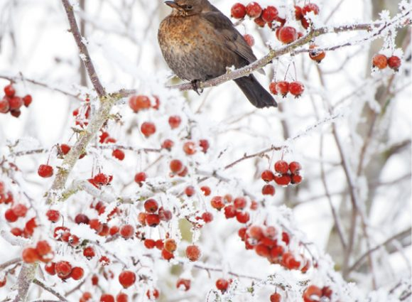 Blackbird Wildlife Trust Christmas Cards