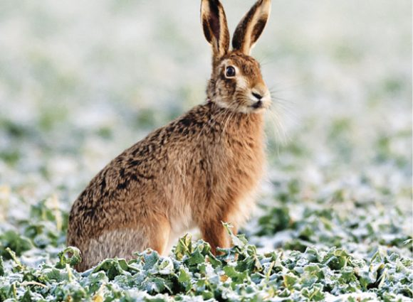 Brown Hare Wildlife Trust Christmas Cards