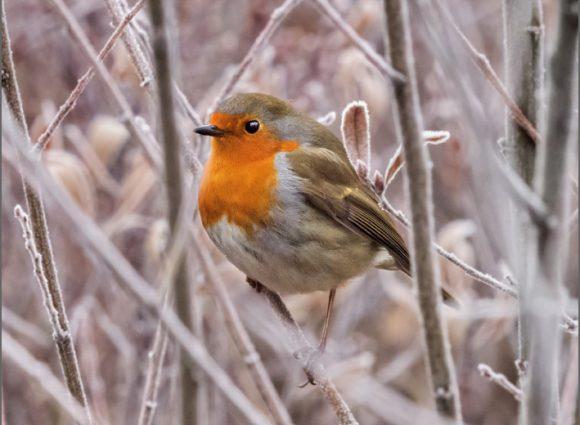 Blackbird Wildlife Trust Christmas Cards