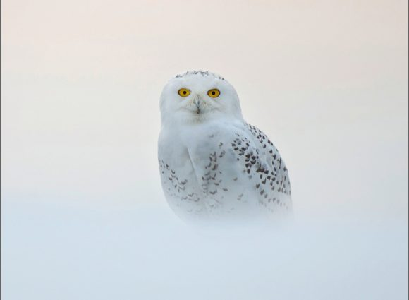 Snowy Owl Wildlife Trust Christmas Cards